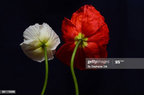The backside of two poppy flowers. One red, one white